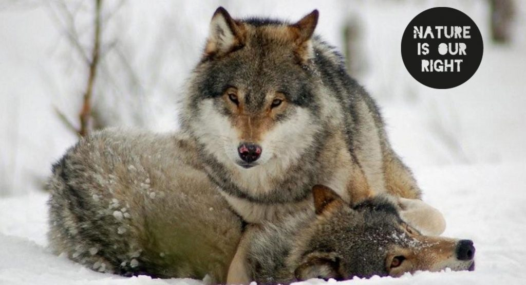 Victory for Norway's endangered wolves